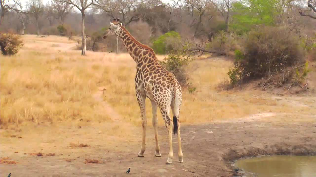 VIDEO: Giraffe  at the  waterhole