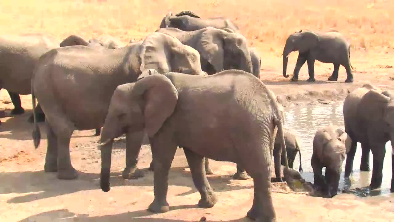 VIDEO: Breeding Herd of Elephants at the waterhole - young ones try to drink and walking in the water