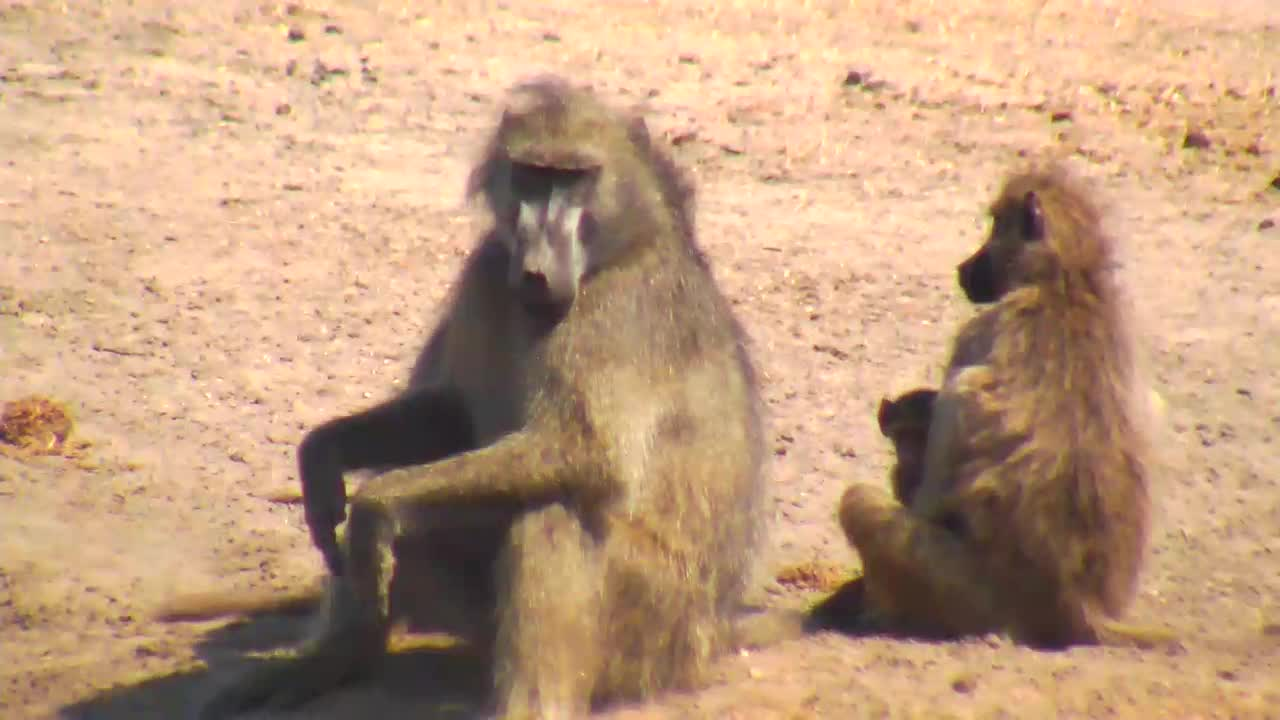 VIDEO:  Baboons with young ones
