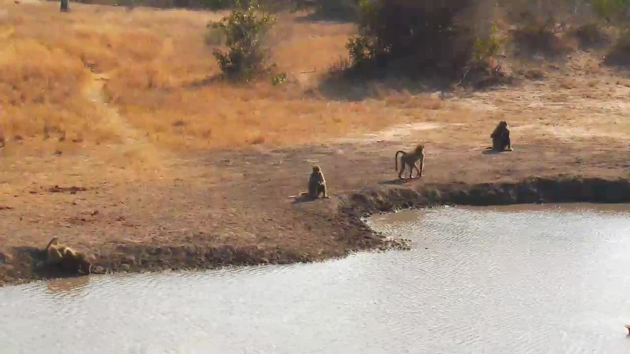 VIDEO:  Baboons passing by the waterhole