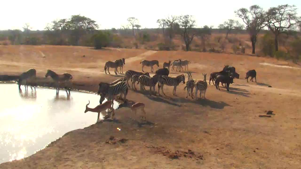 VIDEO:  Zebra, Blue Wildebeest and Impala coming for a drink