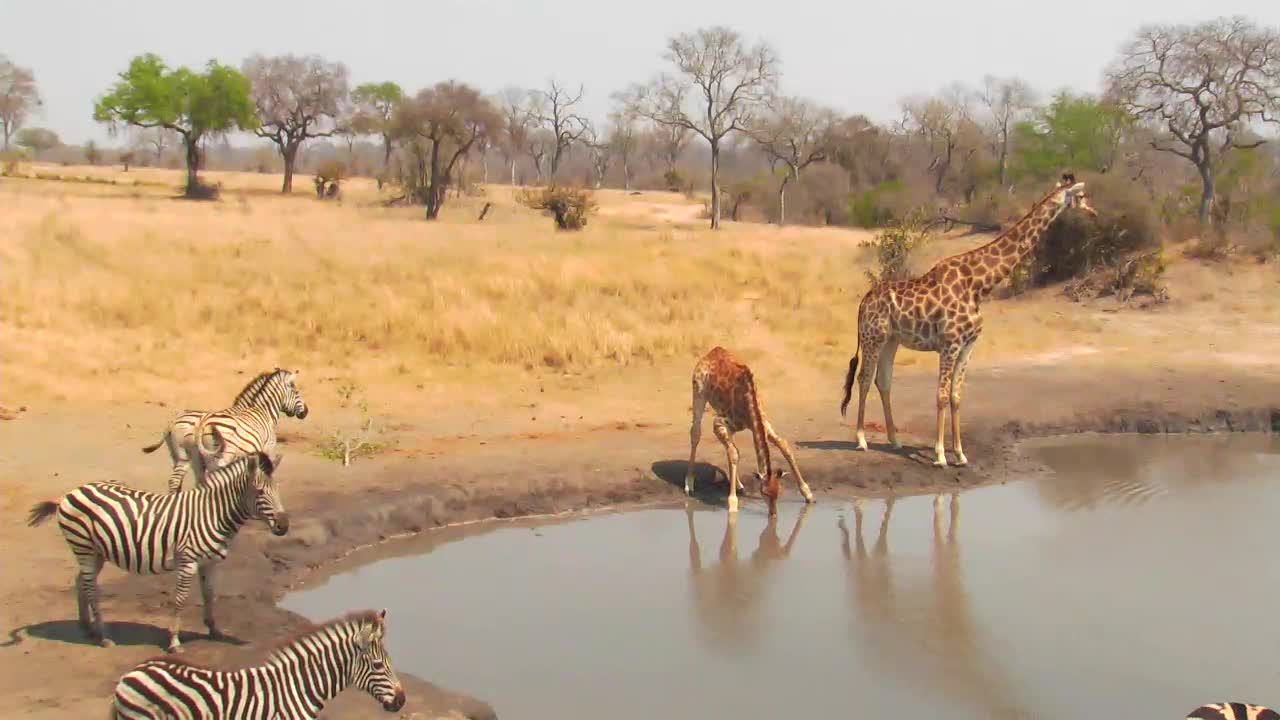 VIDEO: Griraffes and Zebras at the Waterhole