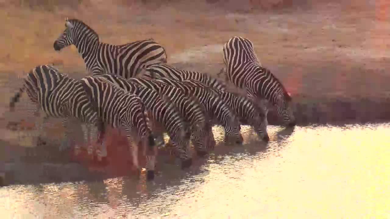 VIDEO:  Zebra family having a drink