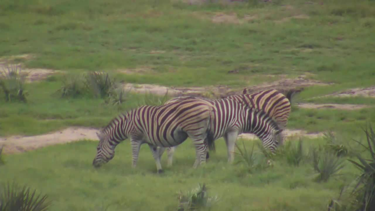 Zebra interaction at Tembe