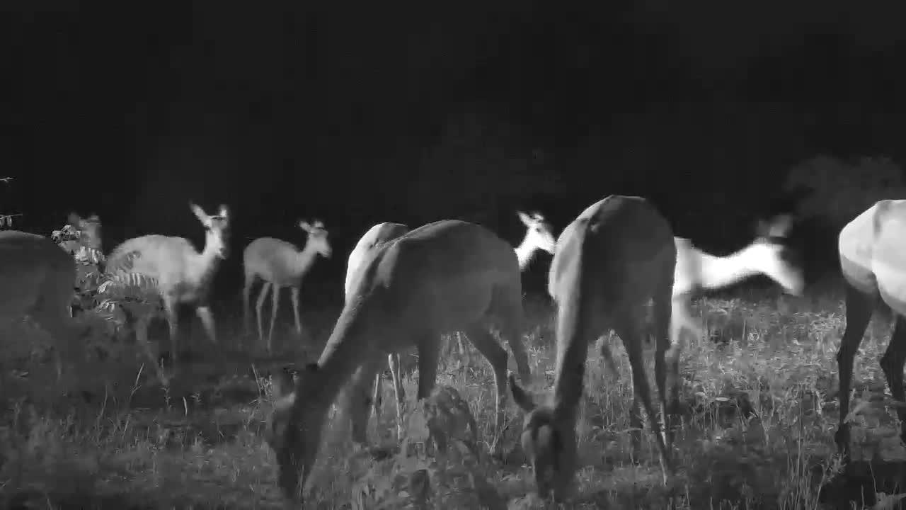 VIDEO:  Impalas grazing close to the camera