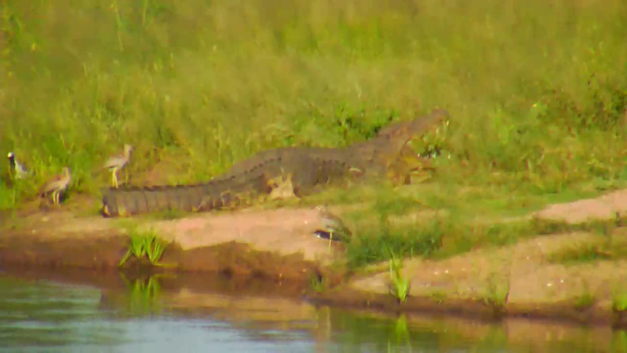 VIDEO: Different birds surround the tail area of the CROCODILE