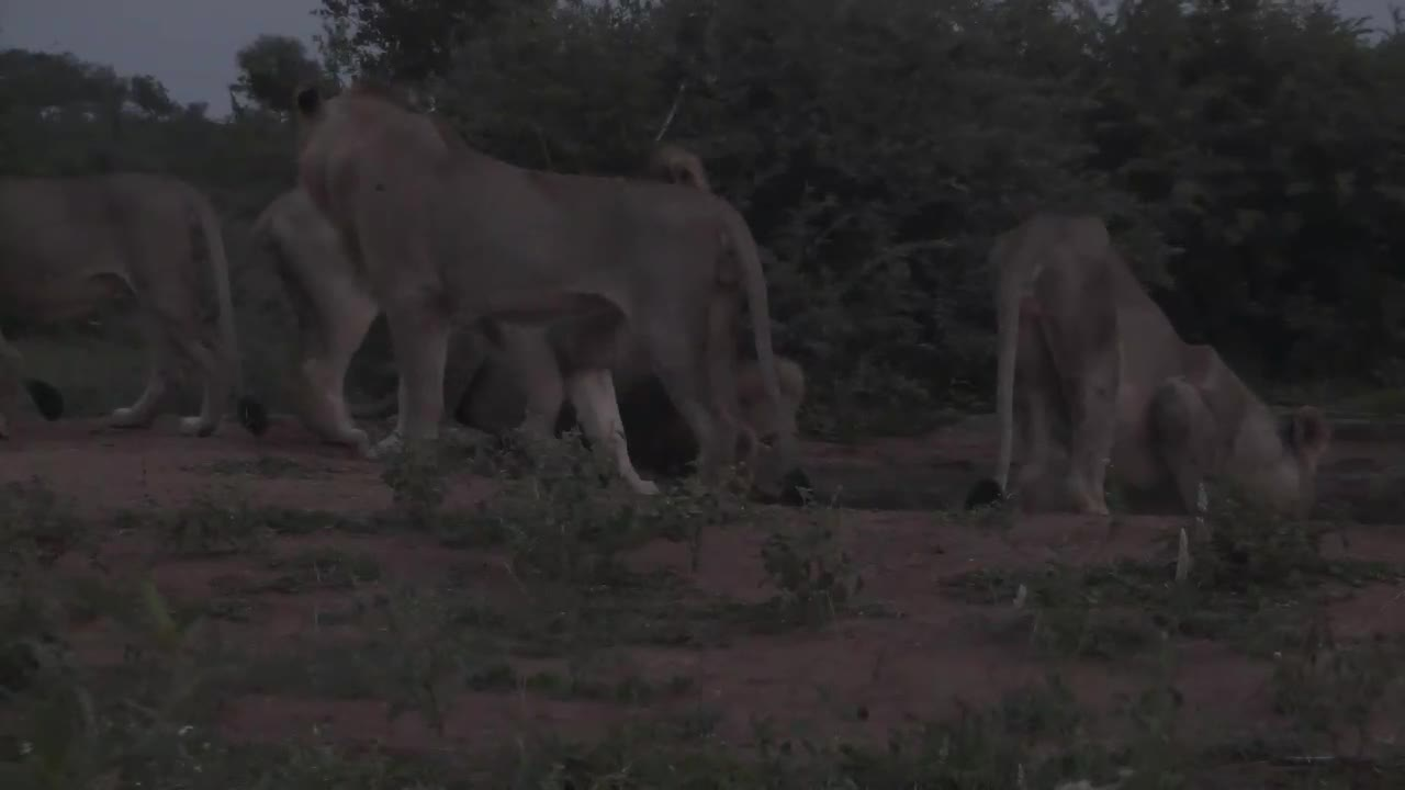 VIDEO:Lions come for a drink at first light