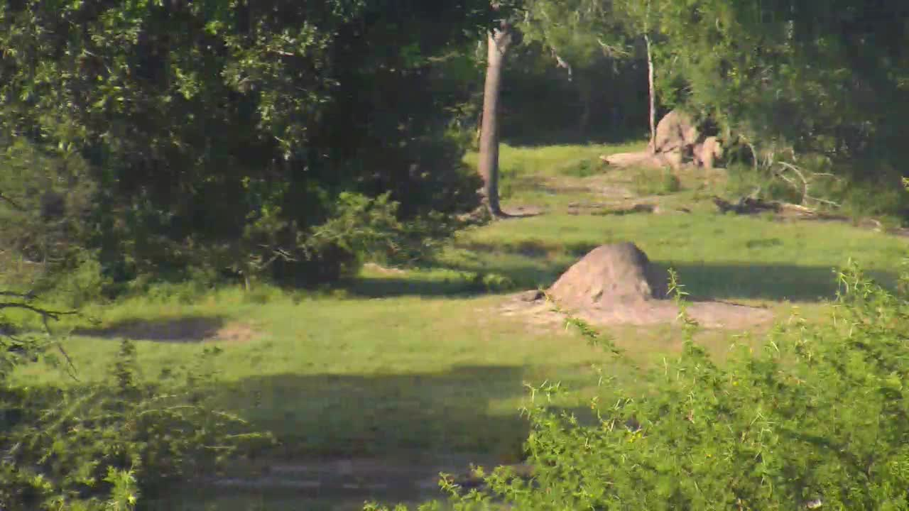 VIDEO: Lions on the hunt this morning