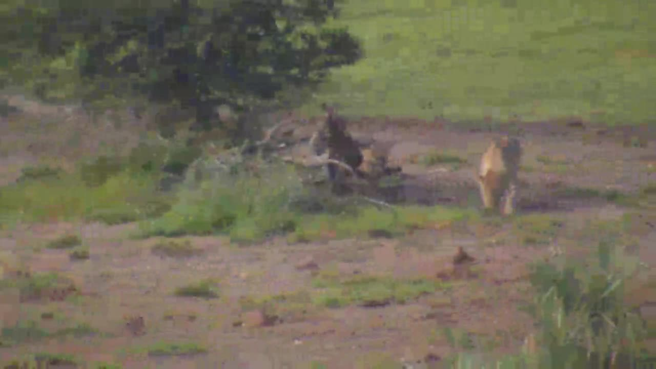 VIDEO:4 Lions hunting and playing