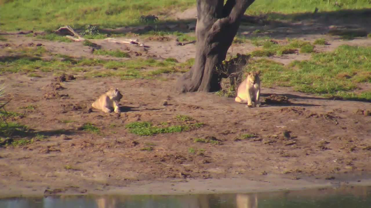 VIDEO:The 3 young lions playing and relaxing