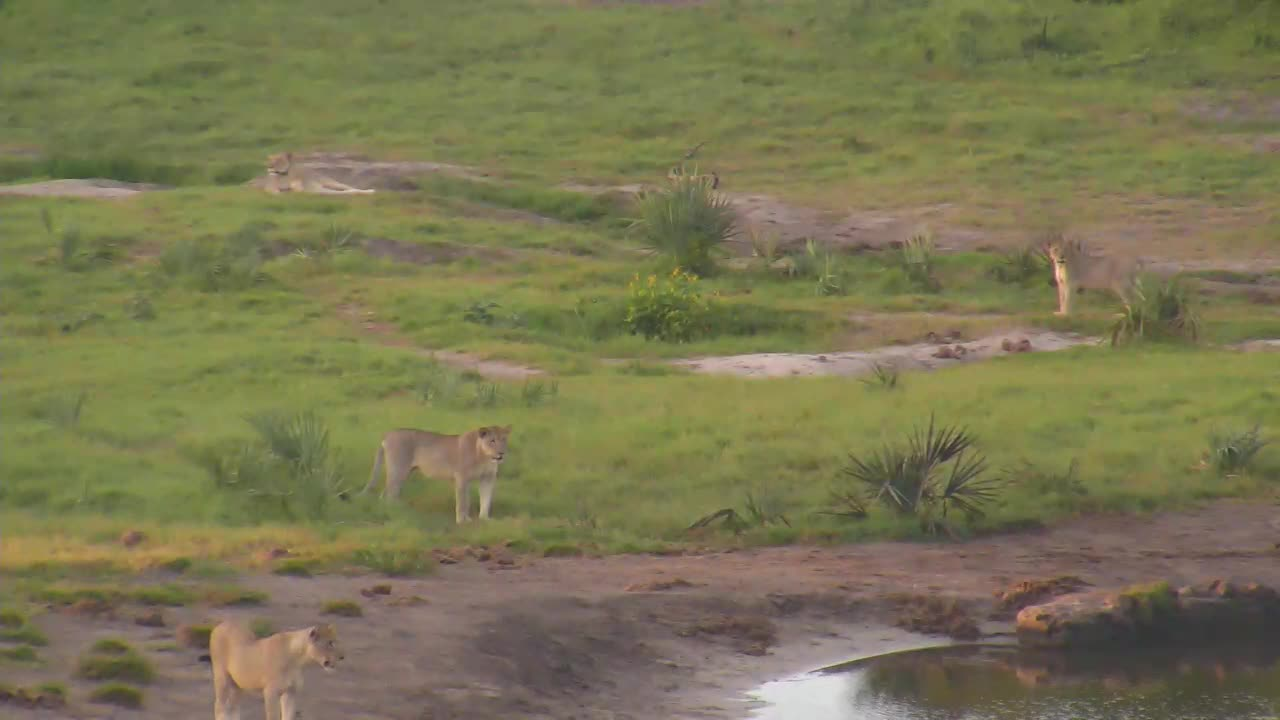 VIDEO: Lions bird hunting and playing PT 1