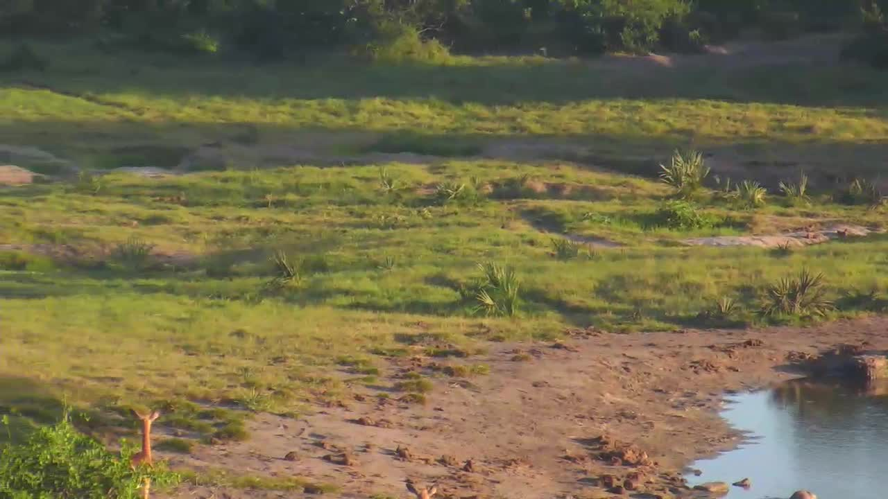 VIDEO: Lion pride walking around and chased away the Impalas