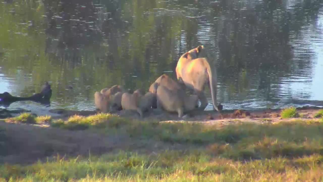 VIDEO: Lioness and her 3 Juveniles