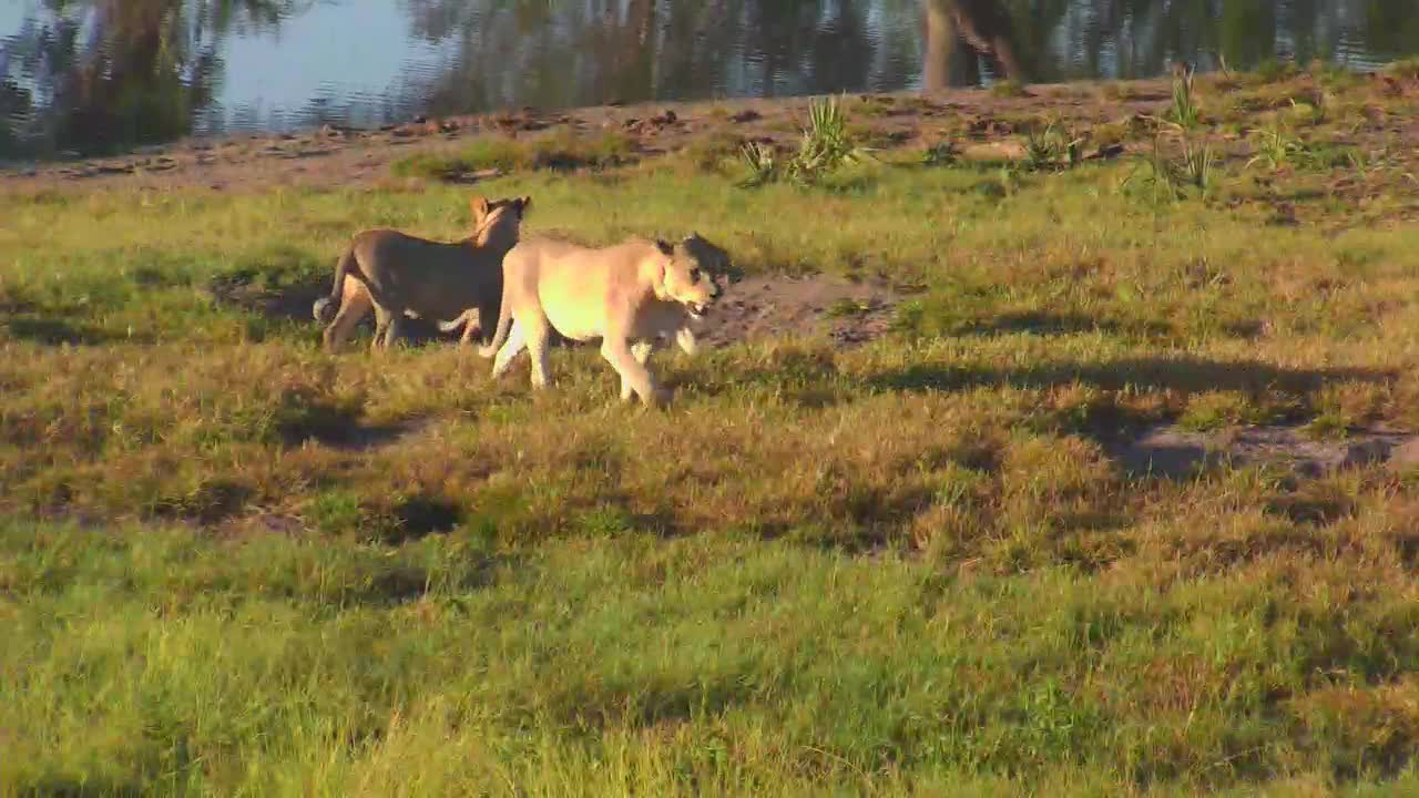 VIDEO:Lioness and her 3 Juvenile cubs leaving