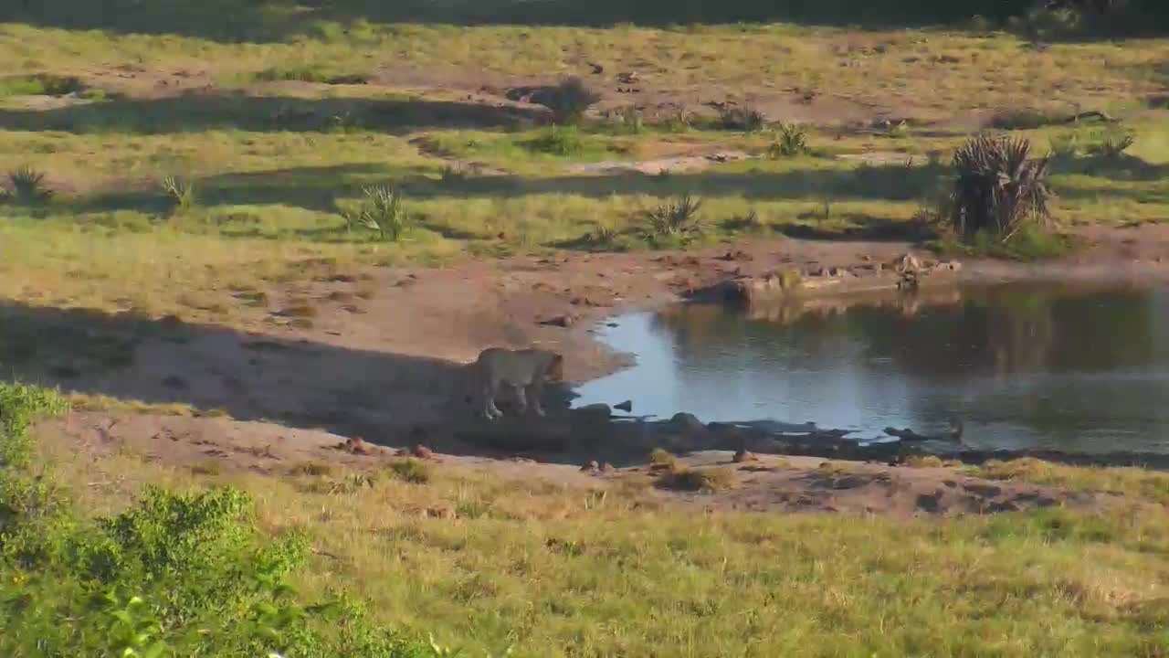 VIDEO: Lioness passing by