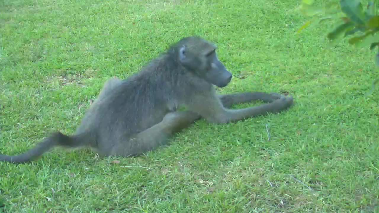 VIDEO: Baboon resting at the lawn, but is very alert.