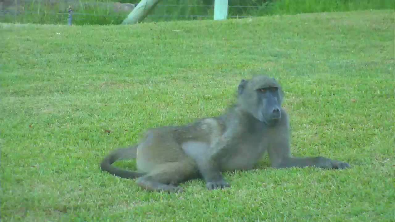 VIDEO: Baboons resting and playing at the lawn.