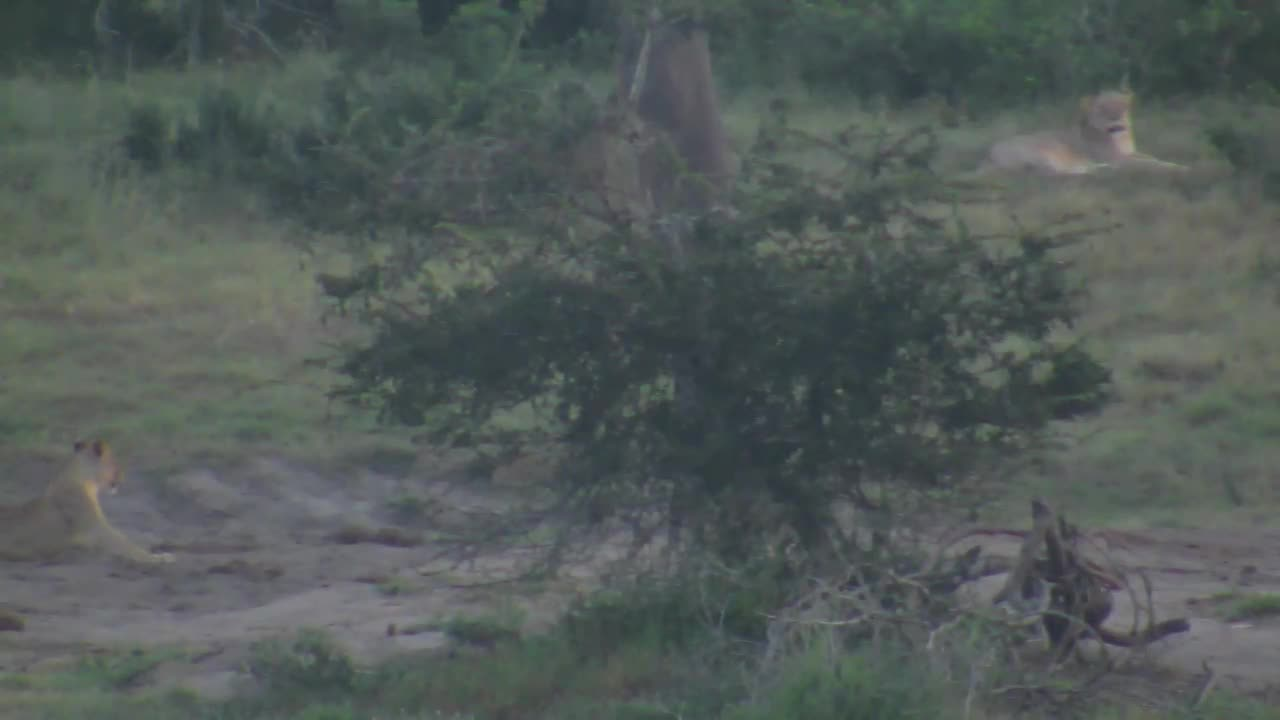 VIDEO: Lioness observes the hunting attempts (object an elephant) of her youngs.