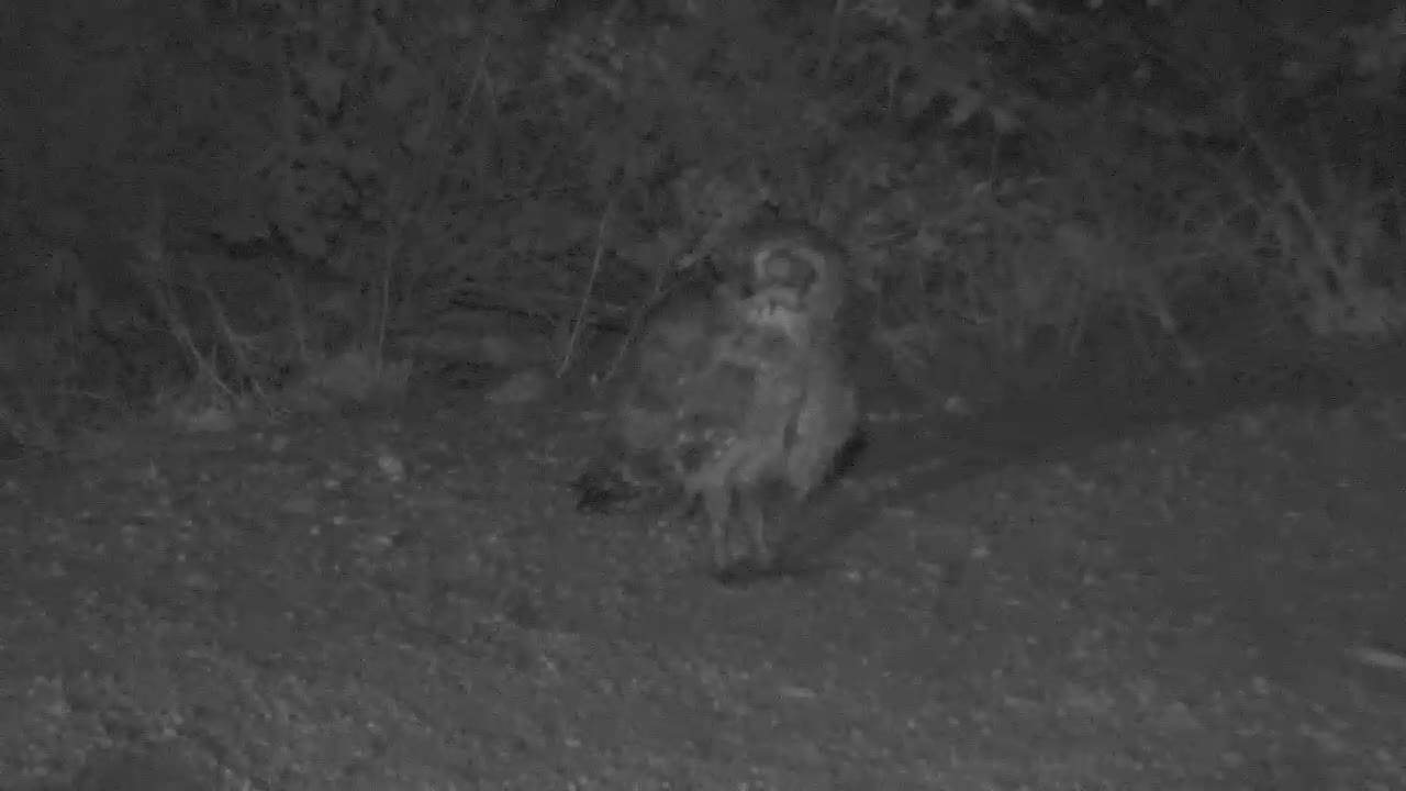 VIDEO:   SPOTTED EAGLE OWL looking round while having a drink