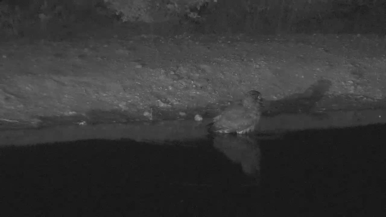VIDEO:  SPOTTED EAGLE OWL bathing