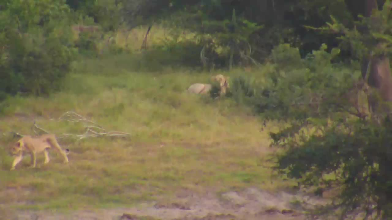 VIDEO: Lioness and her 3 cubs walking around