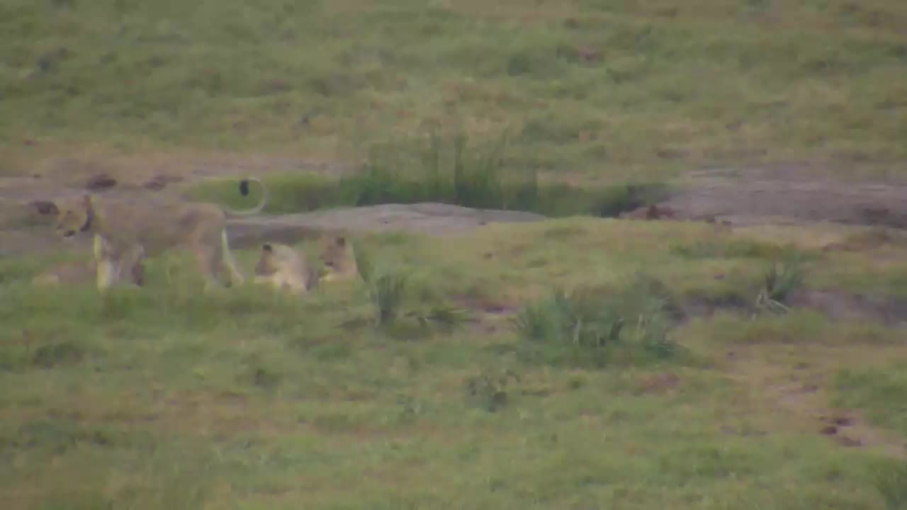 VIDEO: Lion Cubs playing - one of them catched something