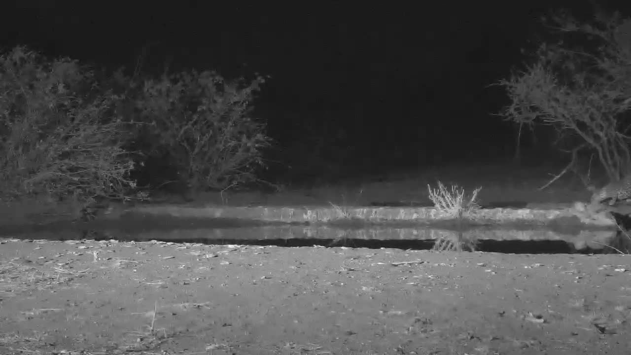 VIDEO: Leopard takes a short drink and walkes into the darkness