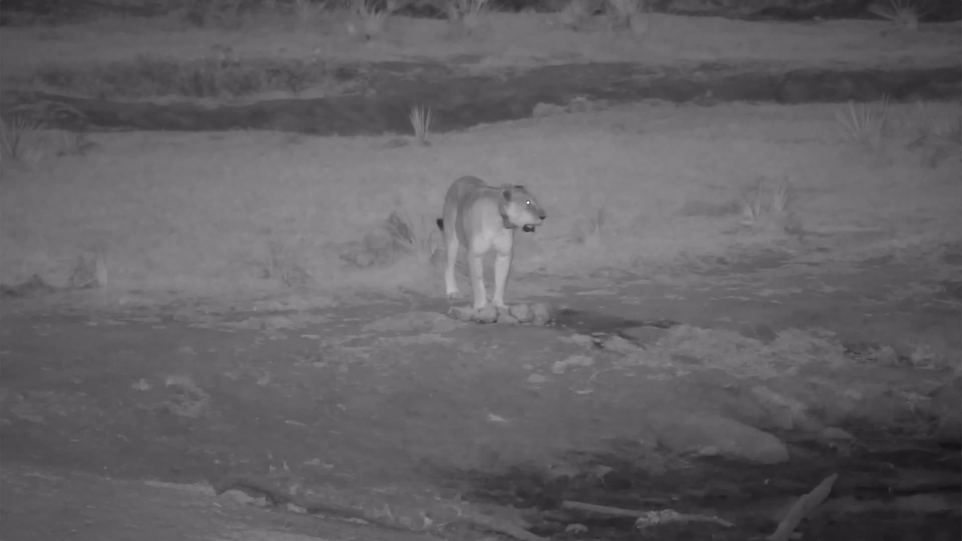 VIDEO:  Lioness calling to pride and off to find them