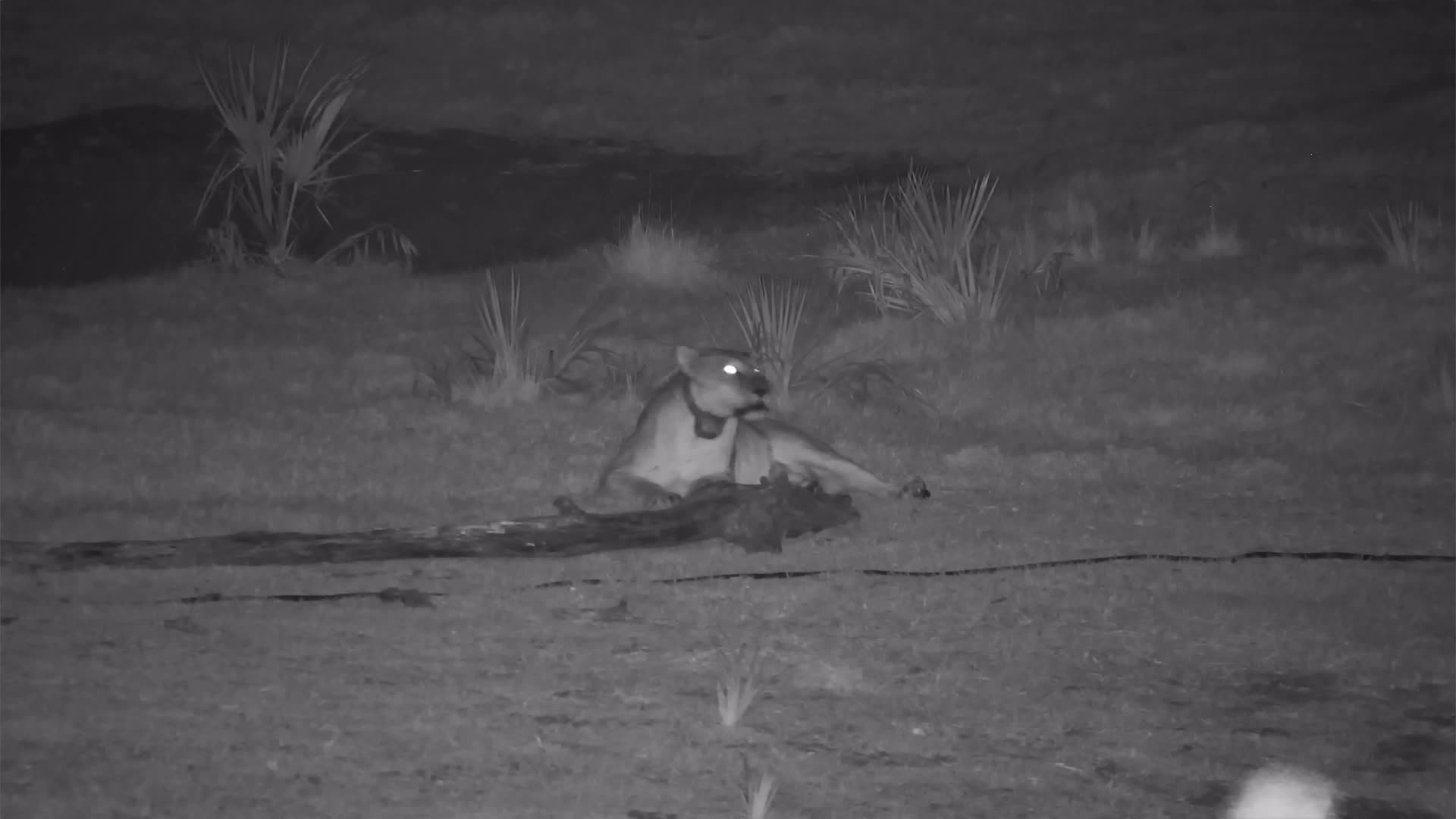 VIDEO:  Lioness keeps calling to her pride