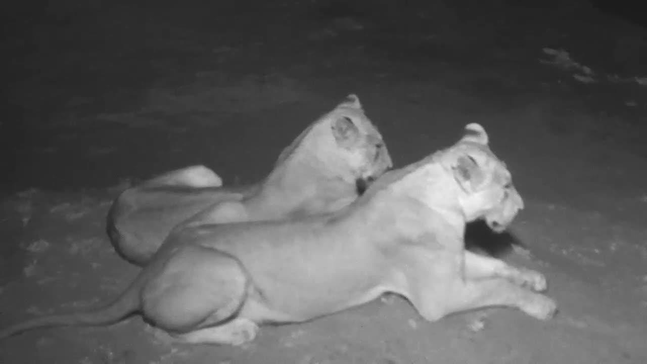 VIDEO: Lions resting but alert