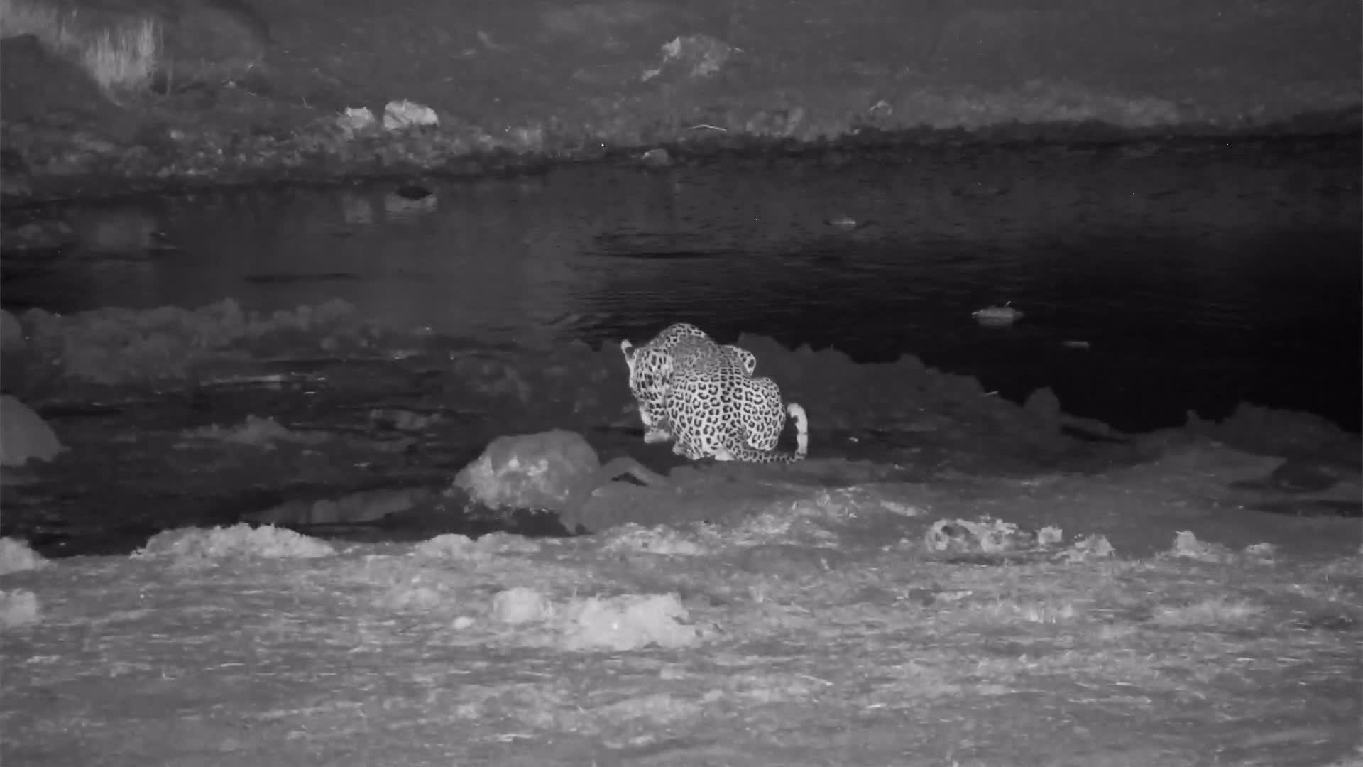 """VIDEO: Leopard having a drink but the Elephant will have """"none of it"""""""