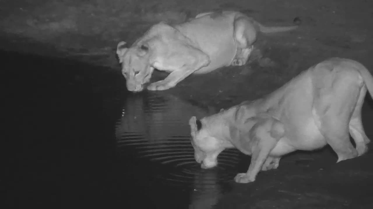 VIDEO: Lions drinking at the waterhole