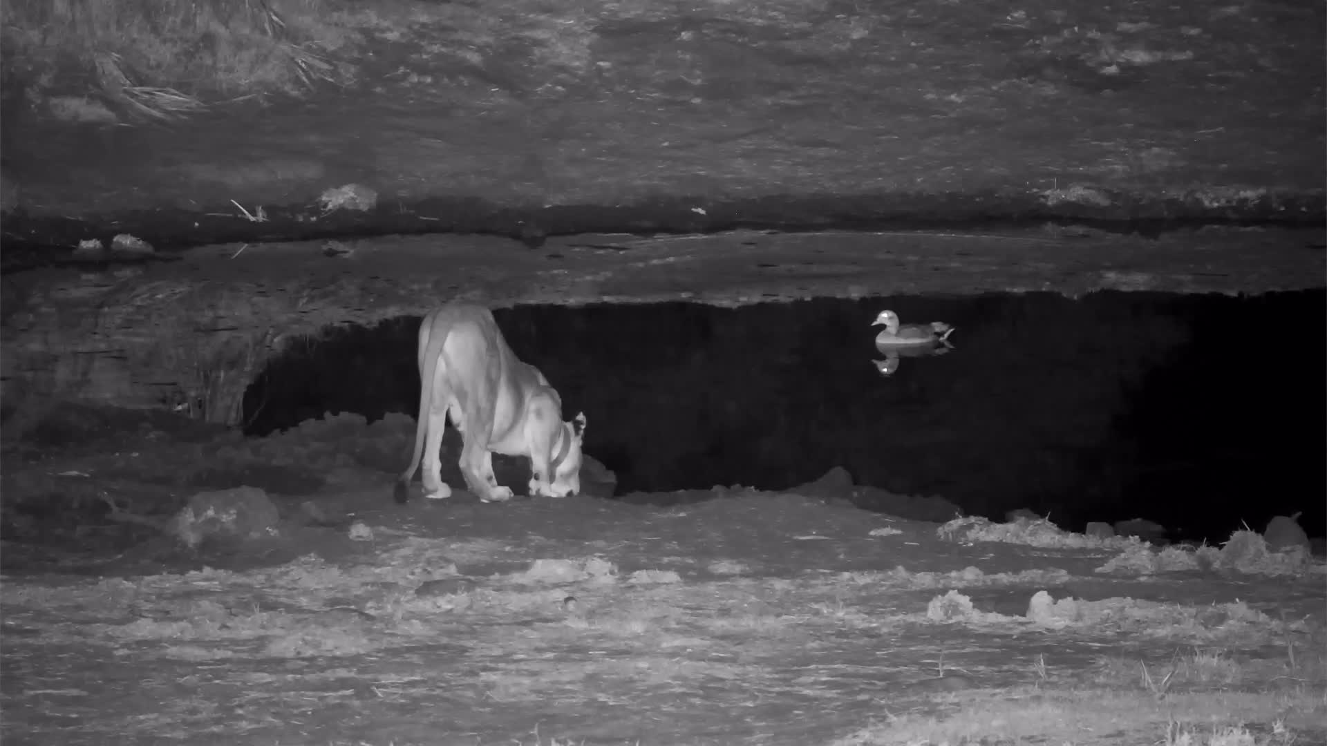 VIDEO: Collared Lioness Comes to Tembe Waterhole for a Drink