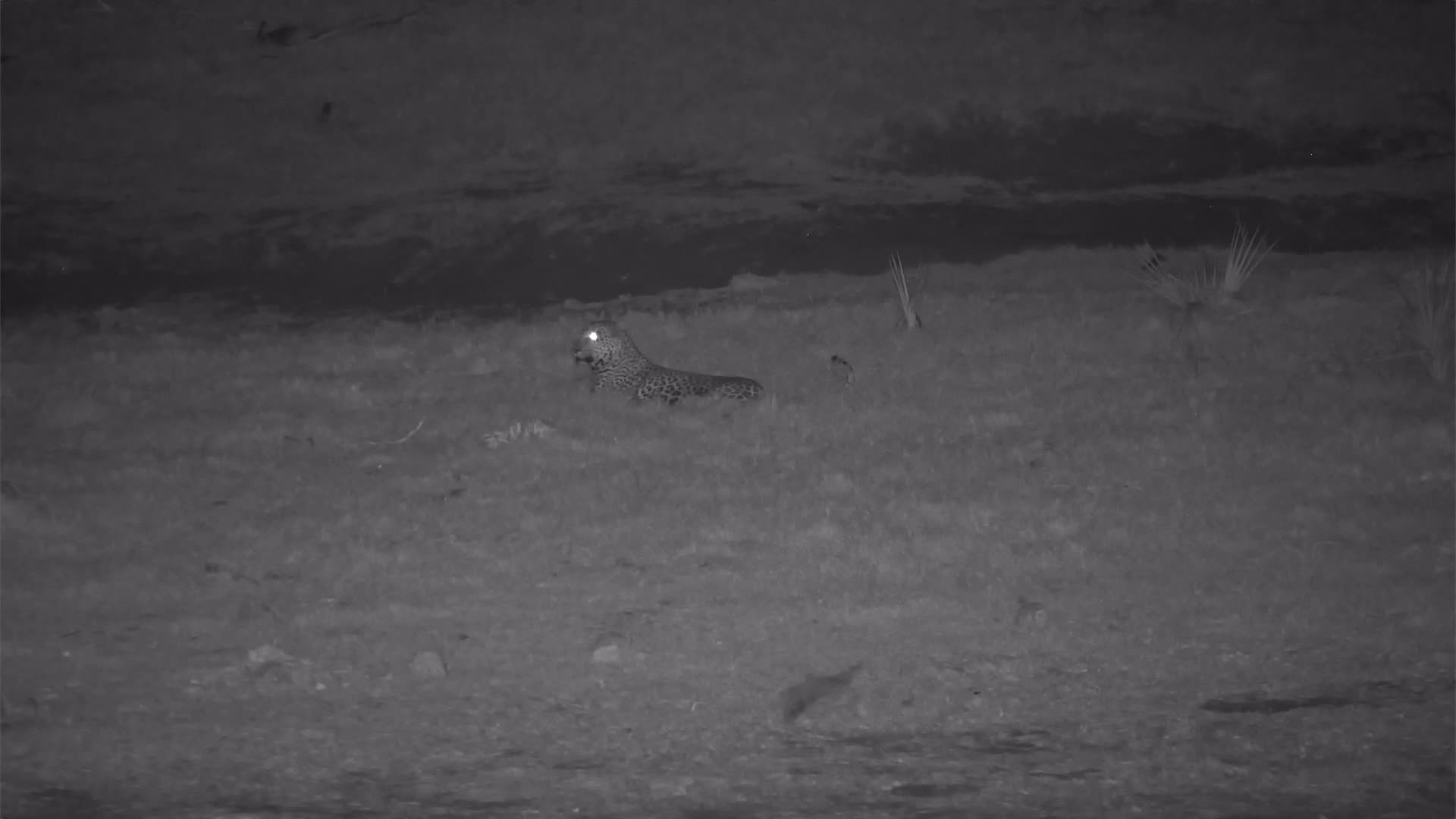 VIDEO:  Leopard strolling by while Elephants drink