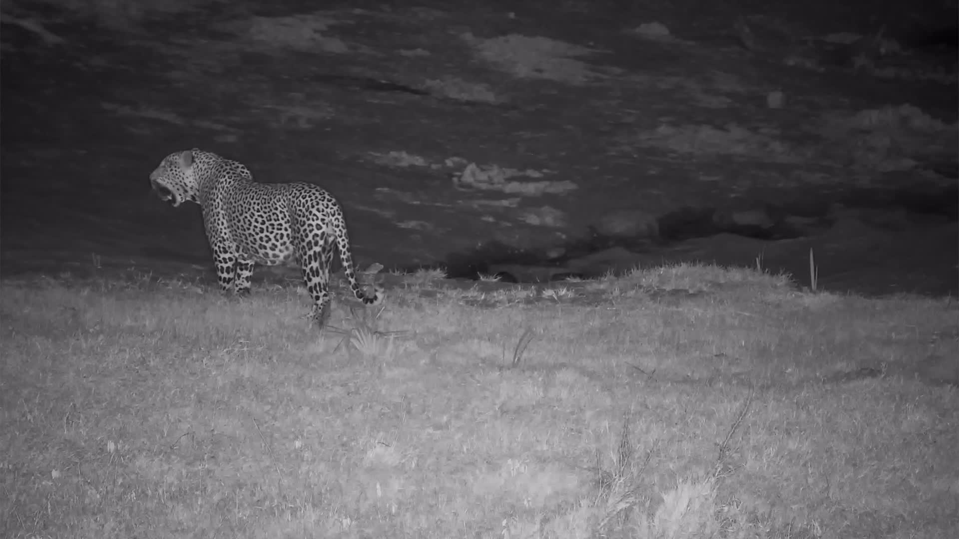 VIDEO:Leopard Pays a Short Vist