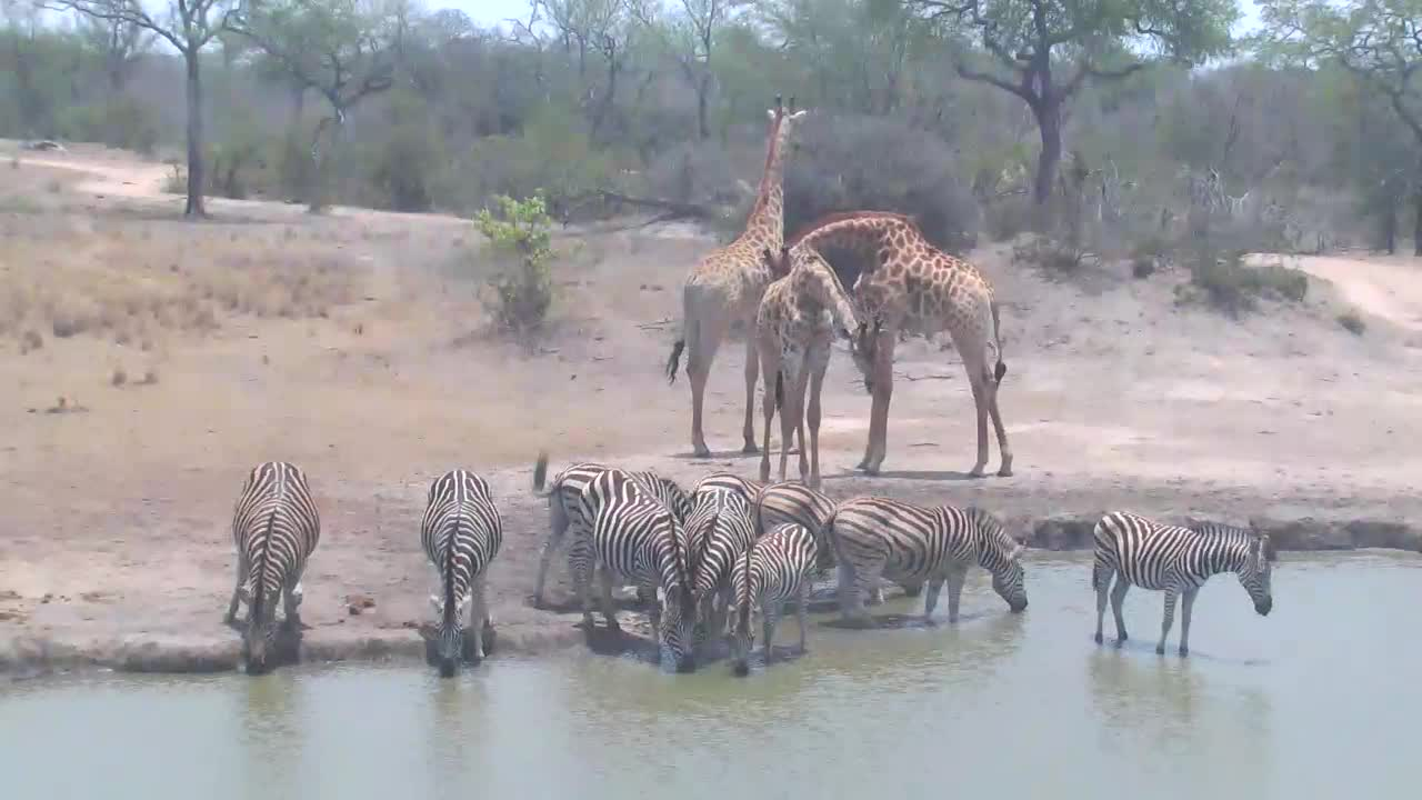 VIDEO: Zebras and  Giraffes  having a drink at the waterhole.