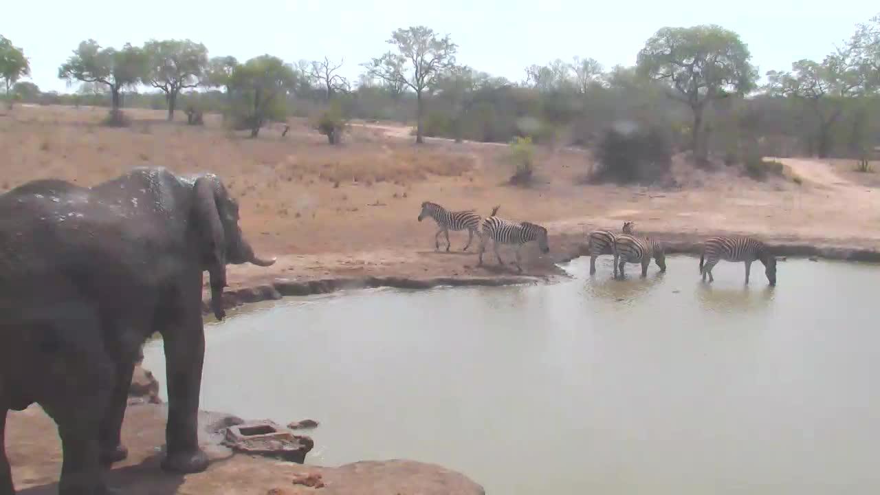 VIDEO:Elephant watching Zebra at the waterhole