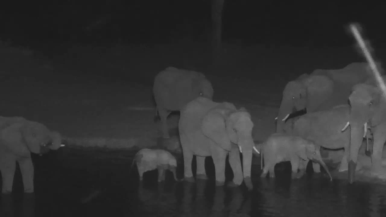 VIDEO: Breeding Herd of Elephants came for a drink - a little baby has his own way of drinking