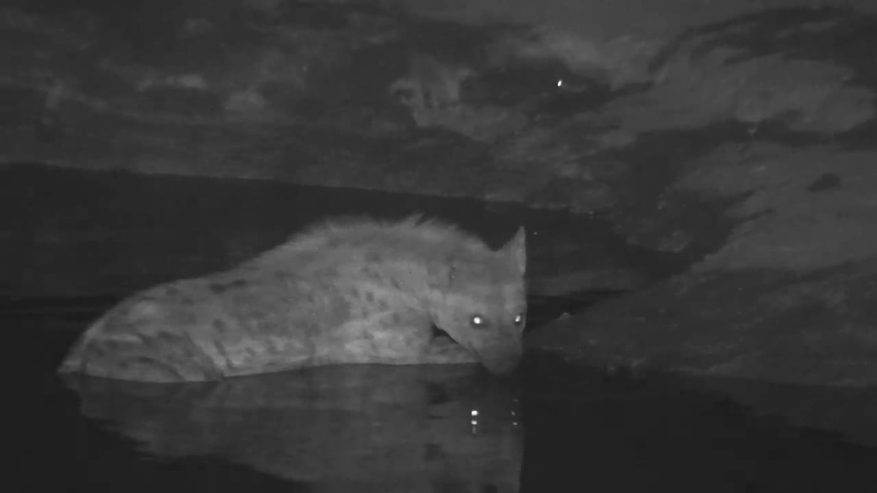 VIDEO: Very alert Hyaena came to the waterhole to drink and cool off.