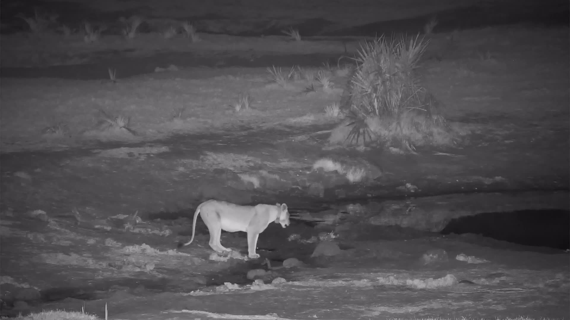 VIDEO: Lioness came for a drink and called her friends