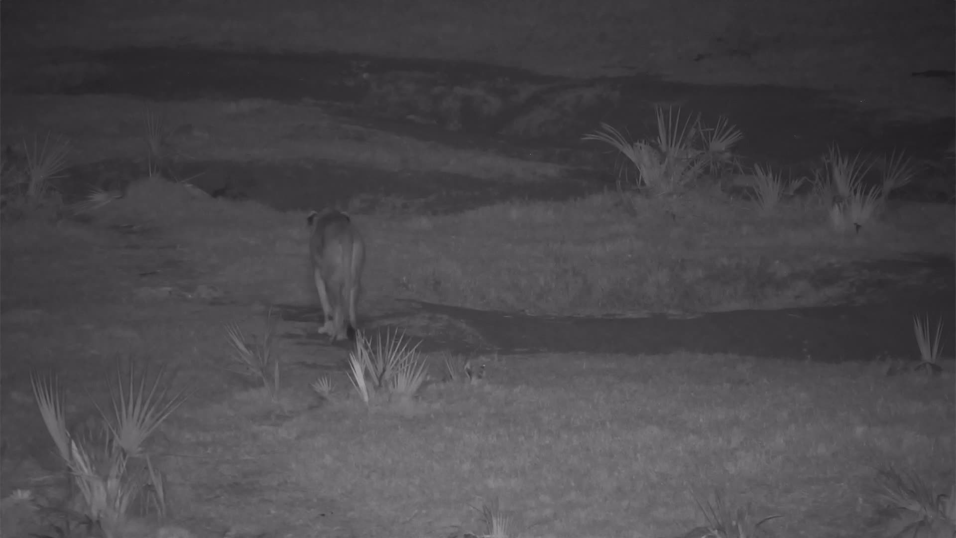 VIDEO: Lioness wanders past, scent marking as she goes