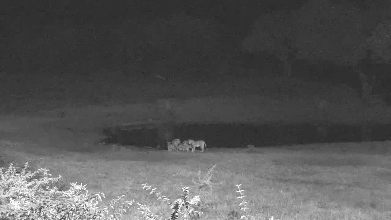 VIDEO:  LIONS with cubs having a drink and looking around