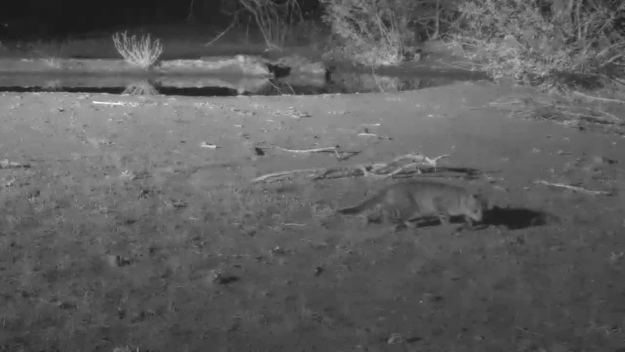 VIDEO:  Young African Wildcat