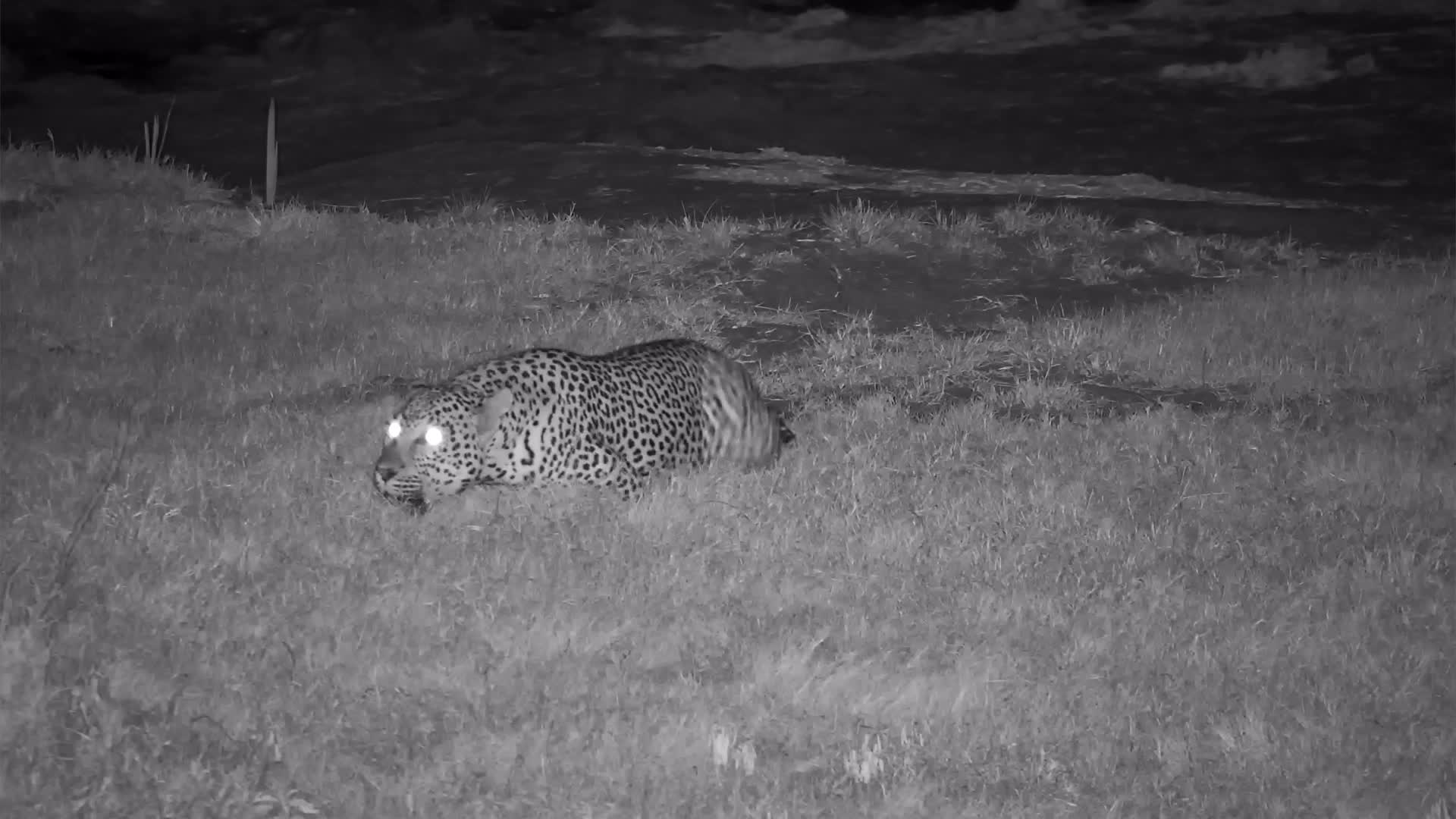 VIDEO: Male Leopard Chilling and Calling at the Waterhole