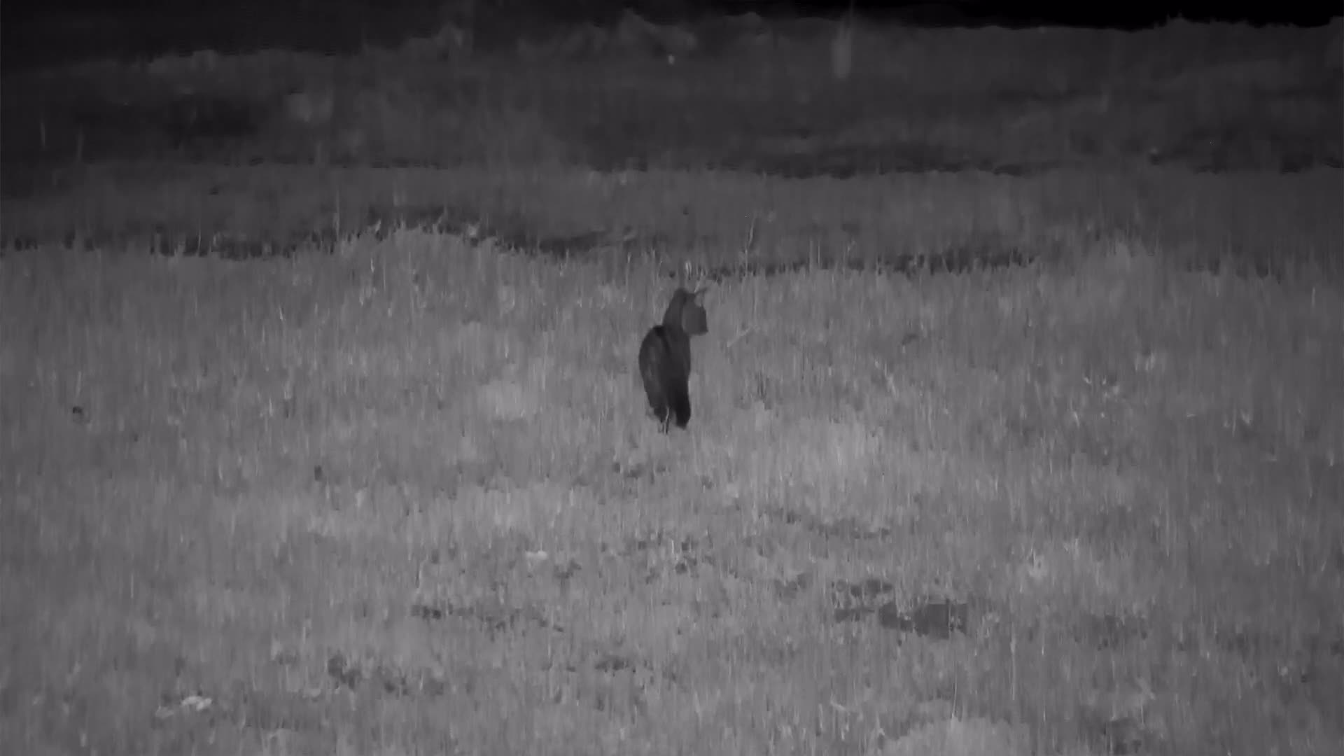 VIDEO: Genet searching for food
