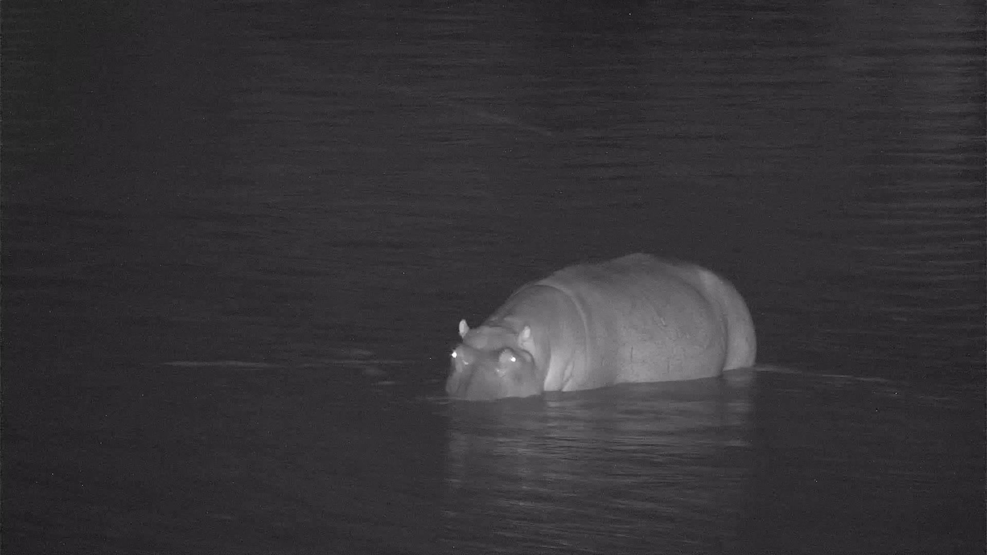 VIDEO:Hippo enjoys the high water in the river
