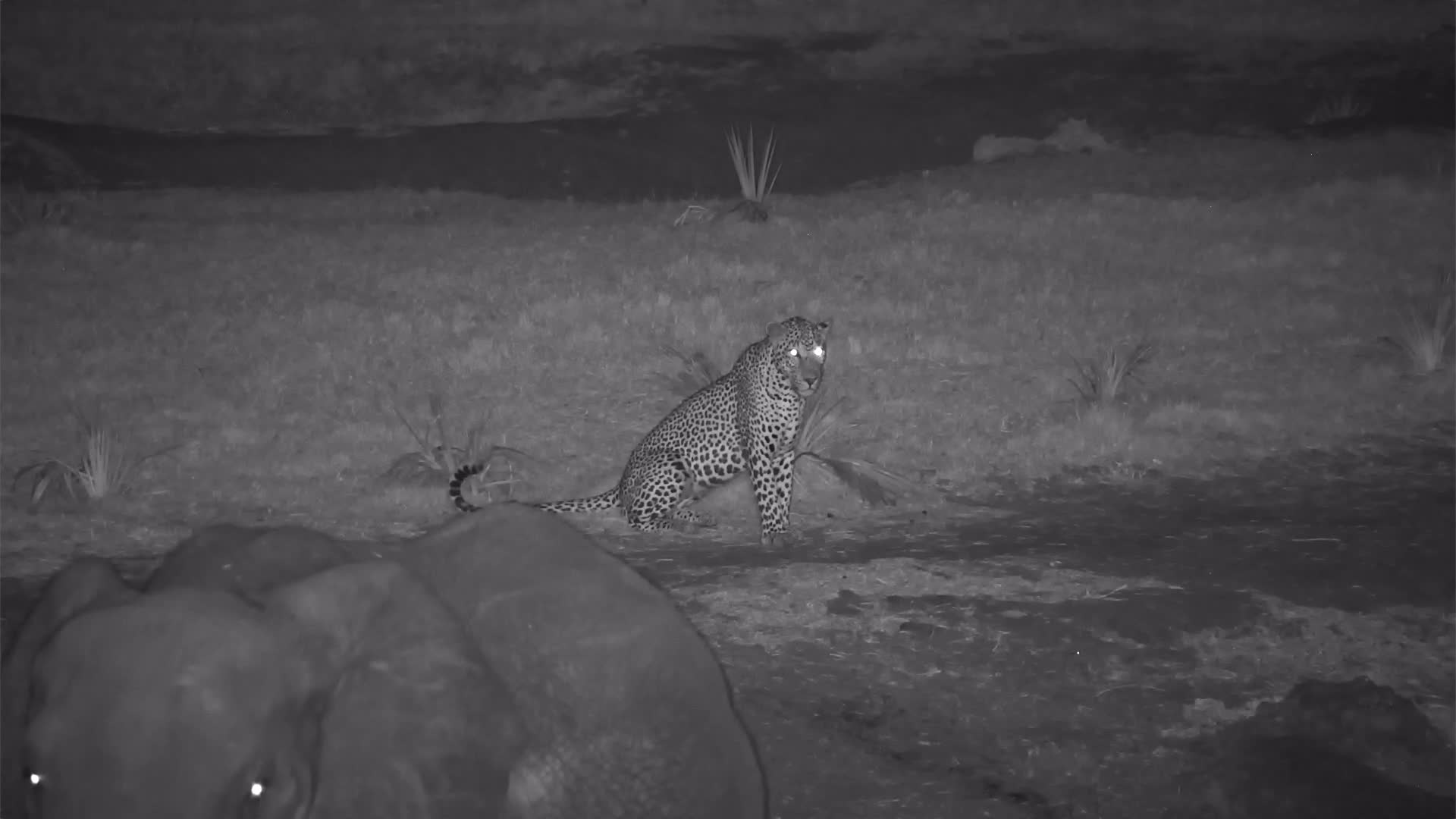 VIDEO: Leopard observes the elephant and the area and wanders back and forth