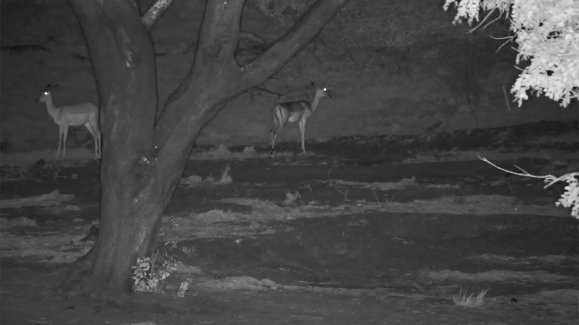 VIDEO:  Impalas watch Genet on the hunt.