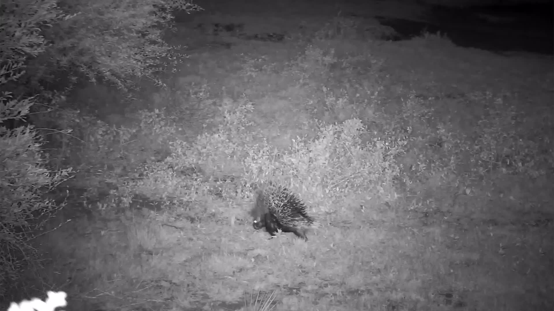 VIDEO:  Quick moving Porcupine