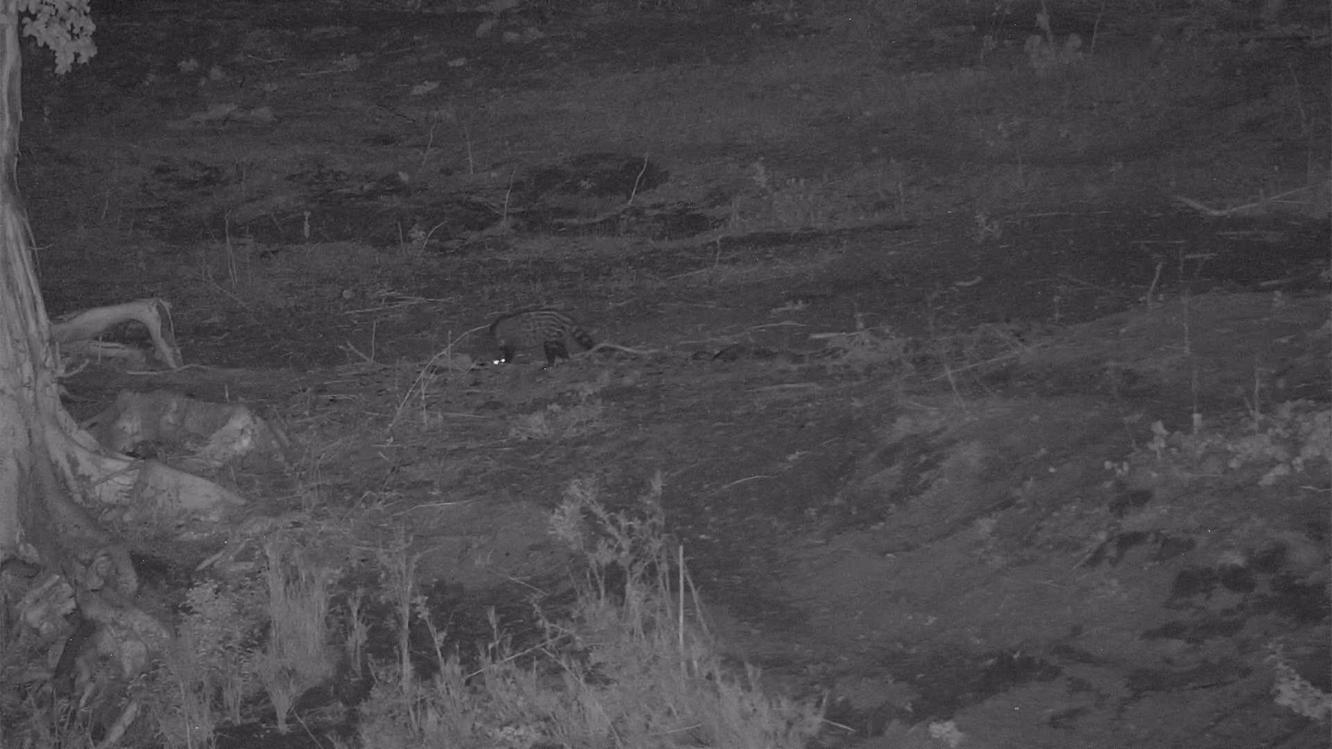 """VIDEO:  Civet following a """"scent"""""""